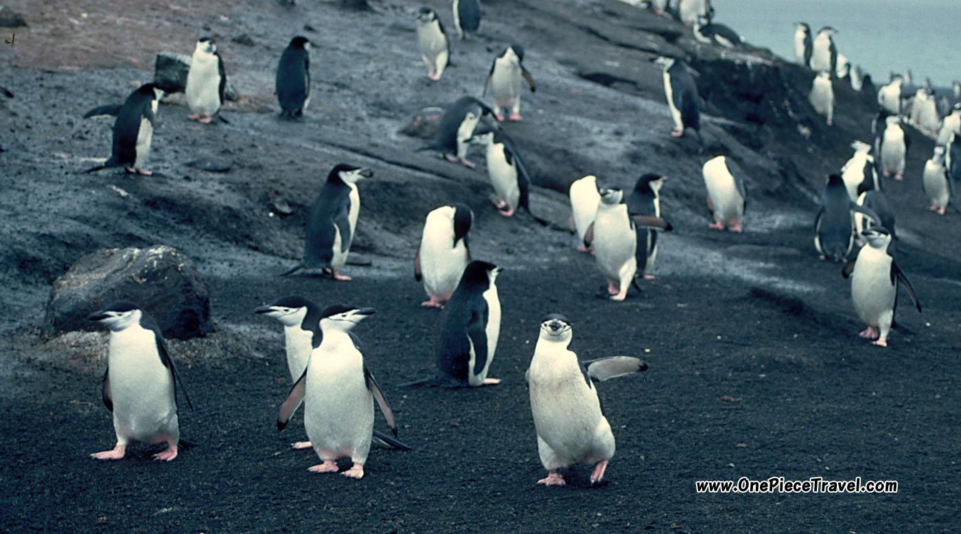 Chinstrap Penguins on volcanic Deception Island, Antarctica