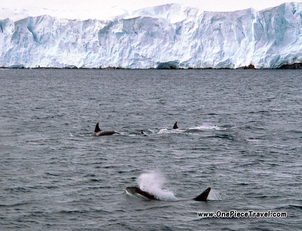 Killer Whales off the coast of Antarctica